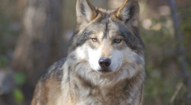 Federal wildlife officials have drafted plans to lift protections for gray wolves across the Lower 48 states.