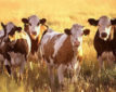 Kansas State University scientists are part of a multistate partnership receiving a $9.6 million, five-year grant to find ways for cattle producers to adapt to climate extremes in their grazing operations.