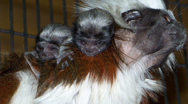 Just a few weeks shy of the 1st birthday of their first set of twins, Lilly and Eddy are once again proud parents of two cotton-top tamarins.