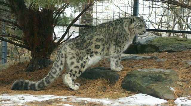 Rolling Hills Zoo has lost a beloved snow leopard.