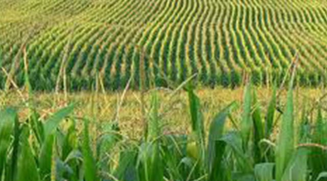 A new report says Kansas farmers planted fewer acres of corn and soybeans and more acres of sorghum this spring than in 2012.