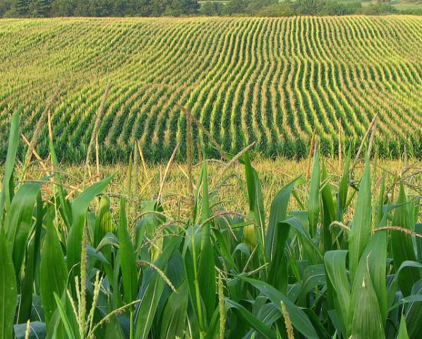 Cutting Record Corn