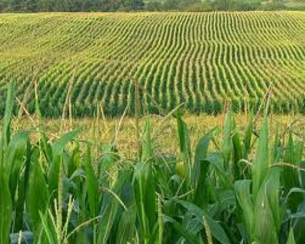 Report: Forecast For Kansas Corn Crop Down From A Year Ago