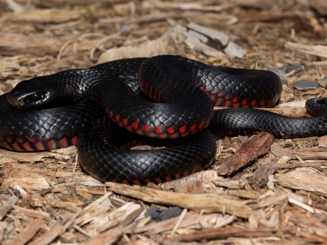 Snake Removed From Threatened List