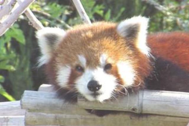 Red Panda Dies At Kansas Zoo