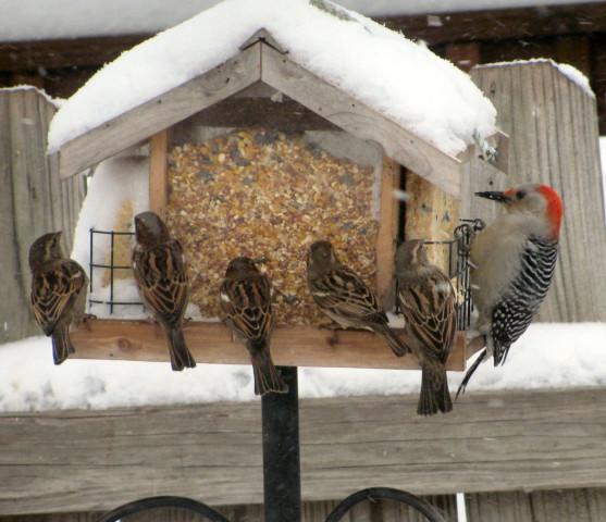Kansas Wildbirds Weathering Flu