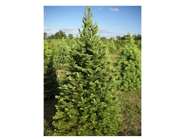 Family Marks 55 Years In Christmas Tree Business