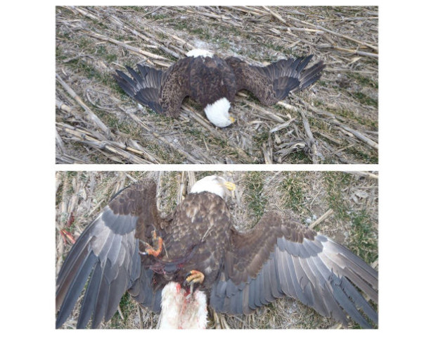 Bald Eagle Shot And Killed At Marion Lake