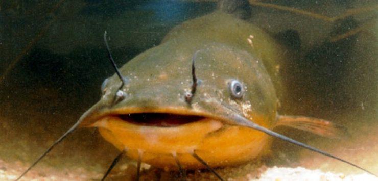 push on to make catfish a kansas state symbol