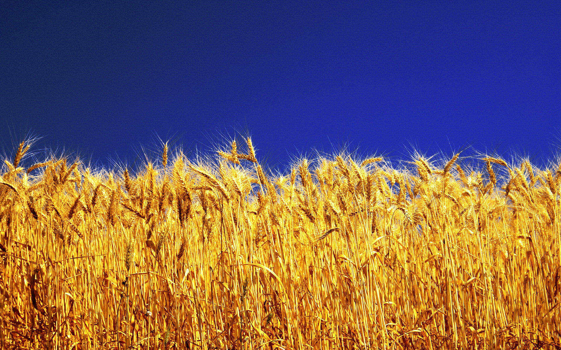 Report: More Winter Wheat Headed as Harvest Nears