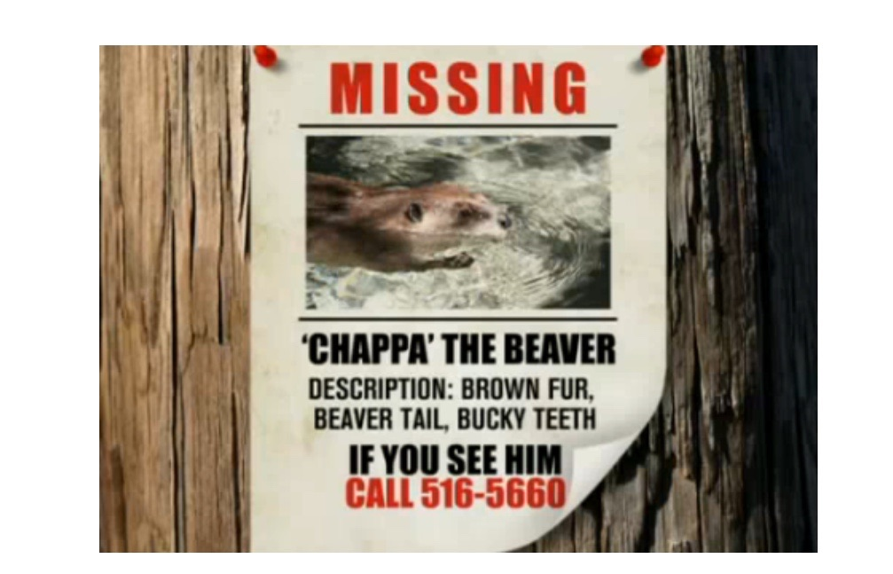Missing Beaver Back Home Safe