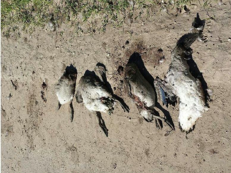 Wardens Seeking Poachers Who Killed Geese