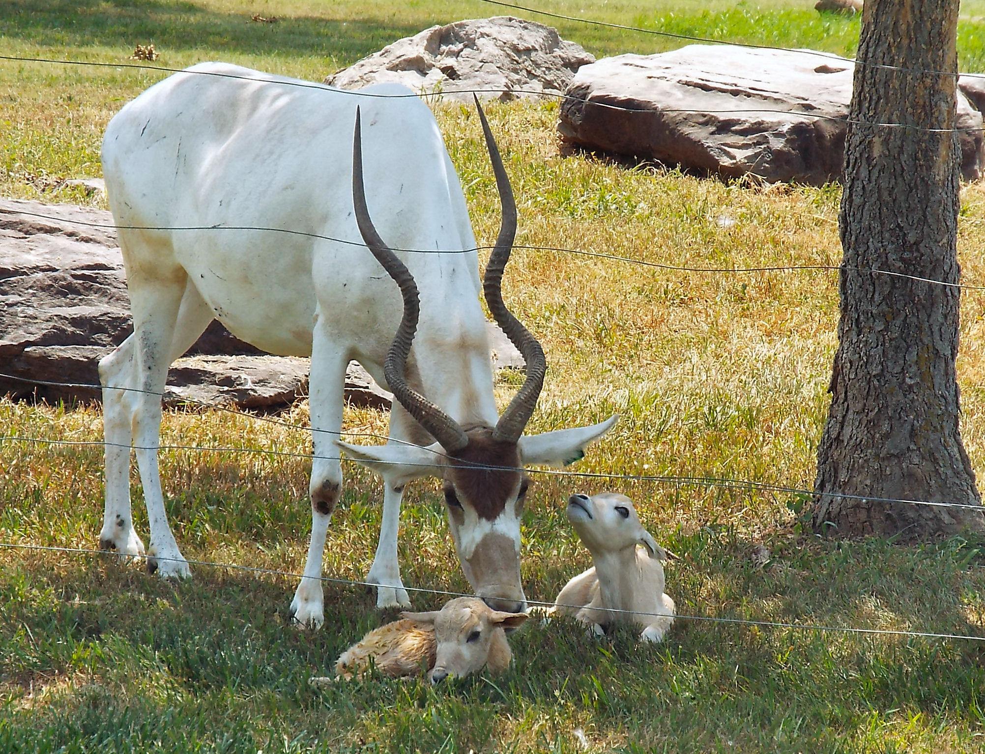 Rare Endangered Twins Born At Salina Zoo