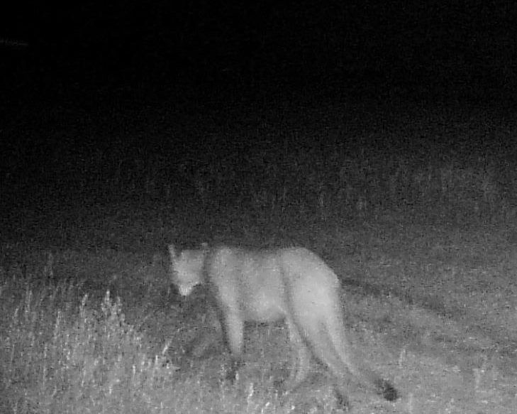 Mountain Lion Spotted In NW Kansas