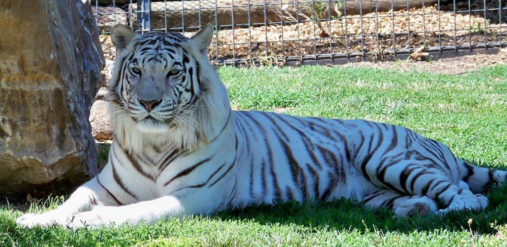 Rolling Hills Zoo Loses Beloved Tiger