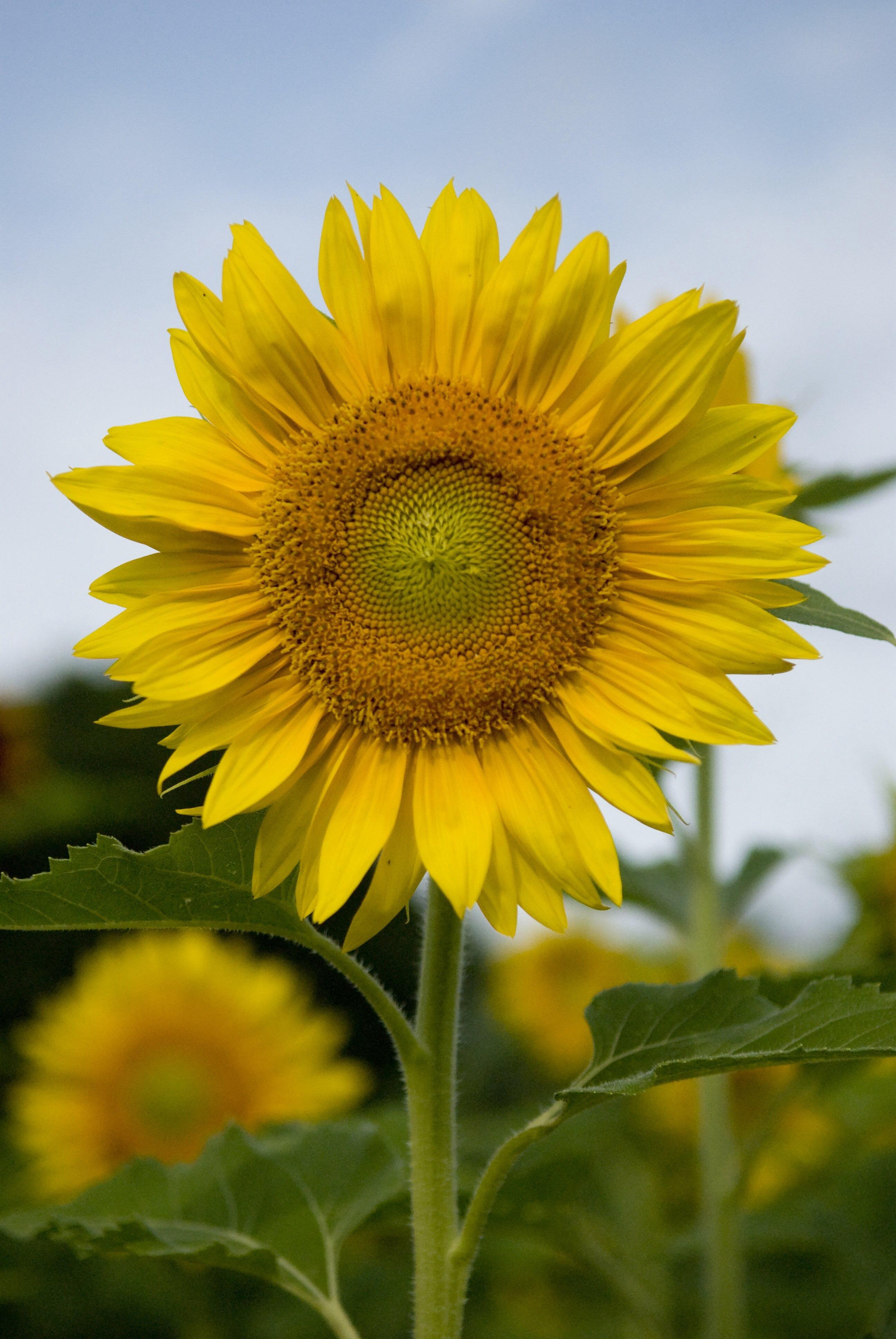 Kansas sunflower farm has fans across the world