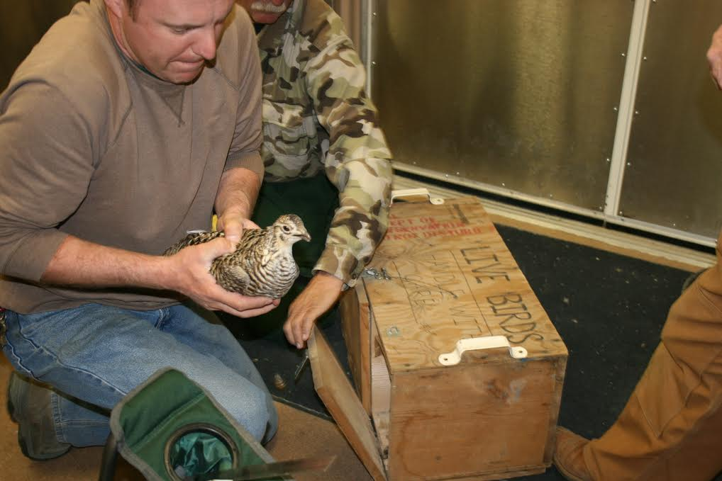 Rolling Hills Zoo Participates in Greater Prairie Chicken Conservation Efforts