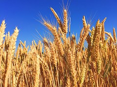 Report: US Wheat Production Much Higher Than Expected