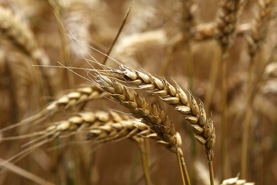 Report: US Farmers Forecast to Harvest Smaller Wheat Crop