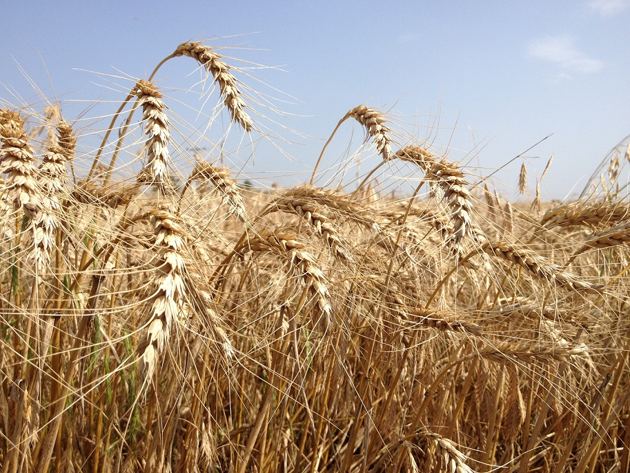 Hot Windy Wheat