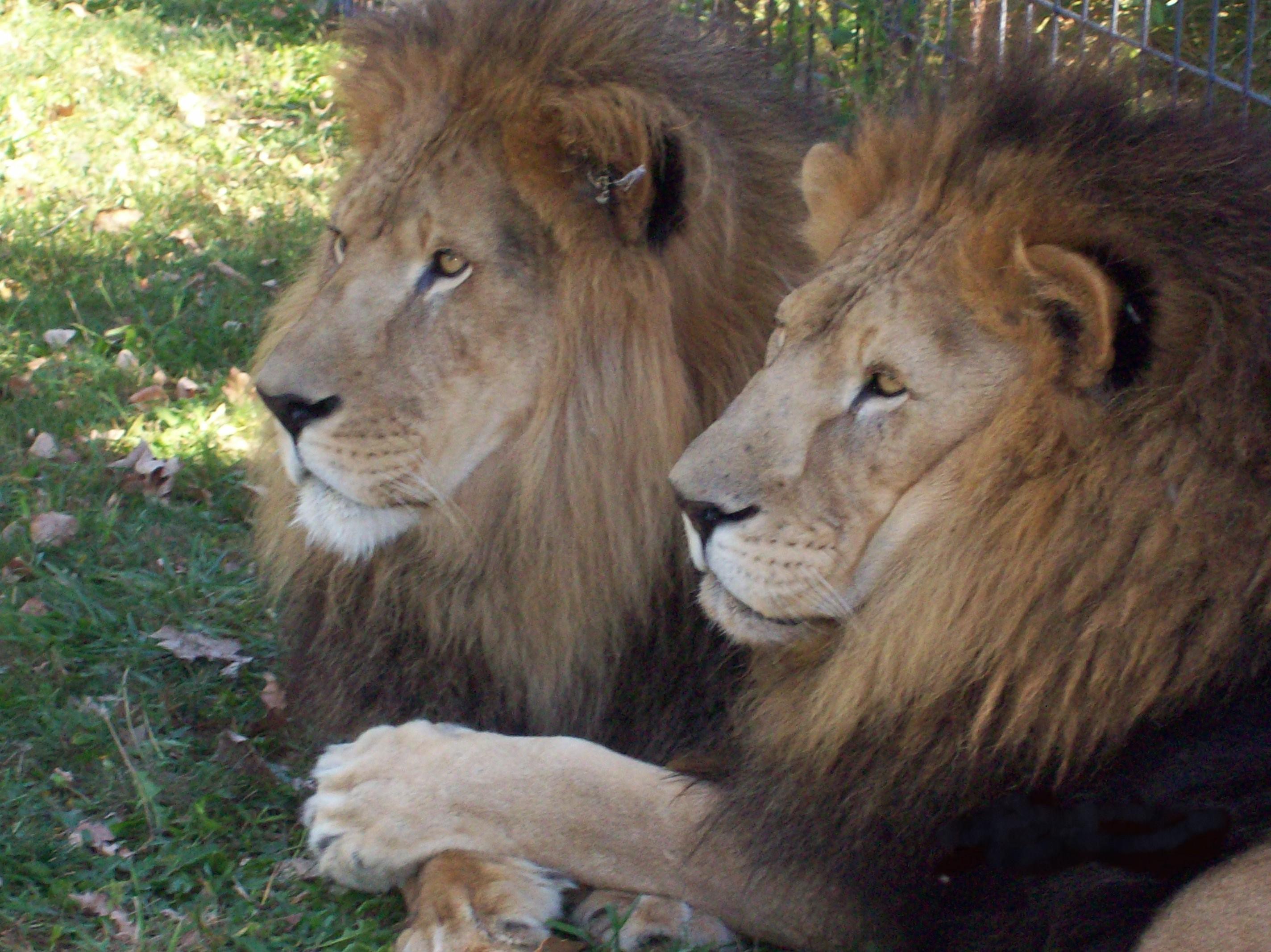 Rolling Hills Says Goodbye to Simba