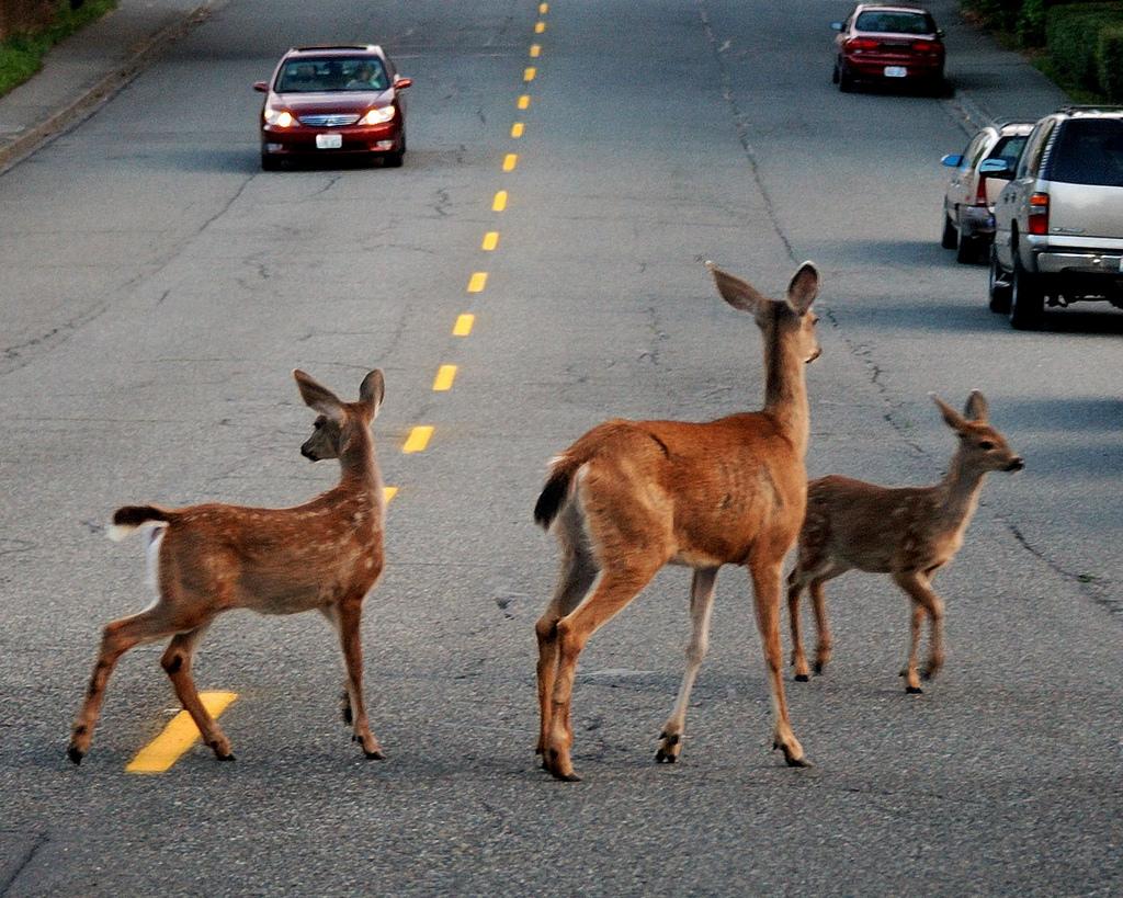 Peak Season For Deer Crashes