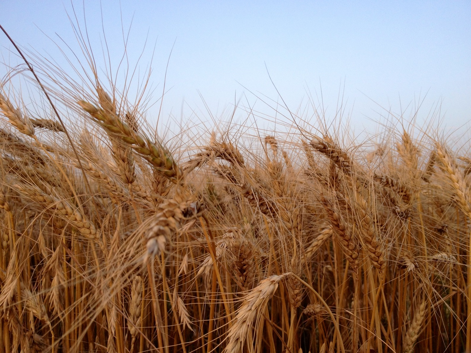 Kansas Farmers Take Top Honors at Wheat Yield Competition