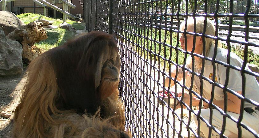 Zoo Mourning Beloved Orangutan