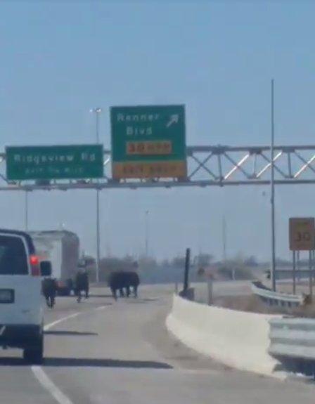 Truck Overturns, Freeing Cows on Kansas Highway
