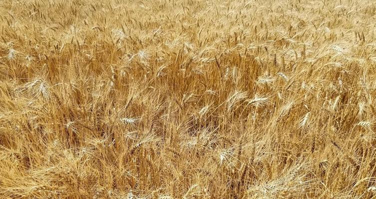 Kansas Wheat Harvest Nearly Finished