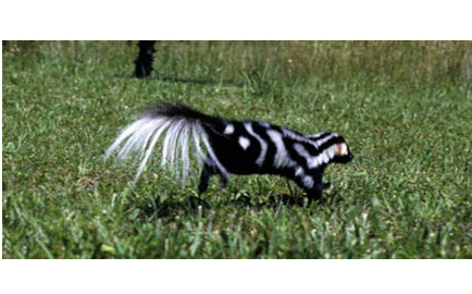 In Search of Spotted Skunks